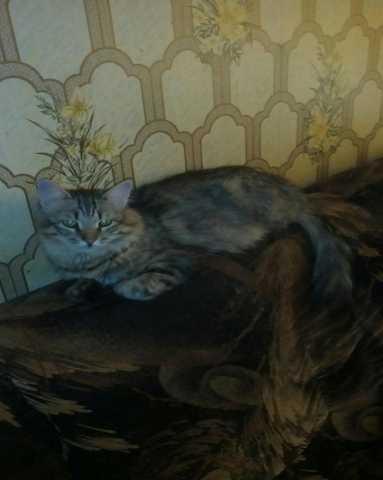 Отдам даром Сибирский кот