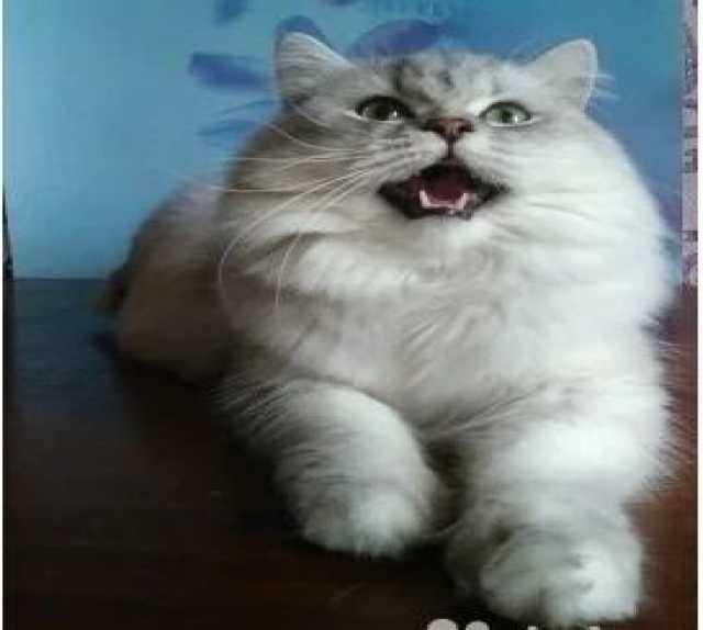 Продам Вязка с котом