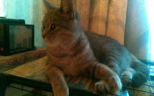 Отдам даром Европейская красавица кошка