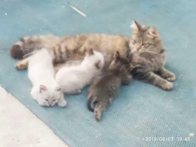 Отдам даром: Котята невская маскарадная сибирская