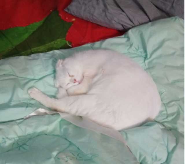 Продам Продам чистокровного шотландского кота