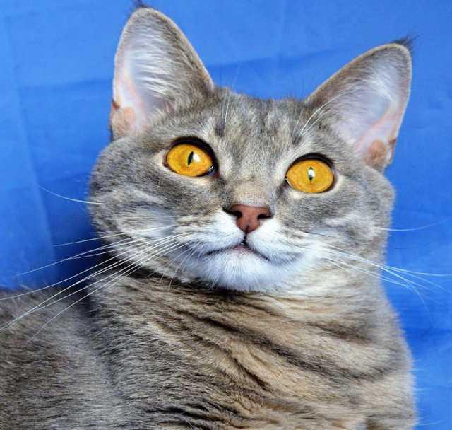 Отдам даром Замечательный кот Кузя ищет дом