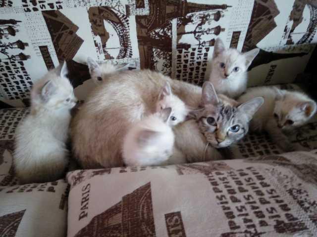 Продам Тайские Котята