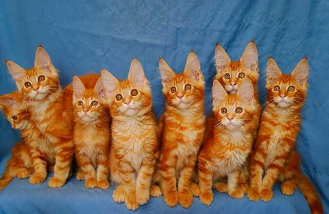 Продам: Котята мейн-кун рыжего окраса