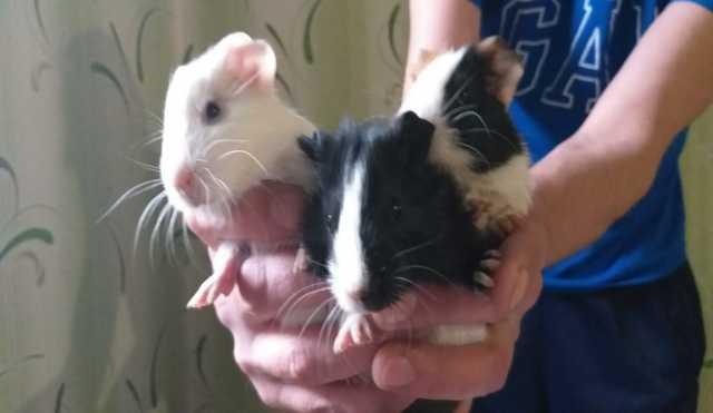 Продам Морские свинки