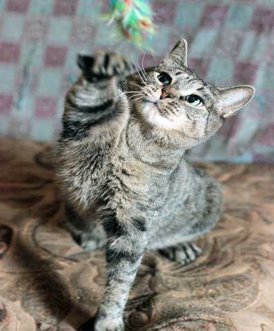 Отдам даром: Кошка Лаура, 3 года