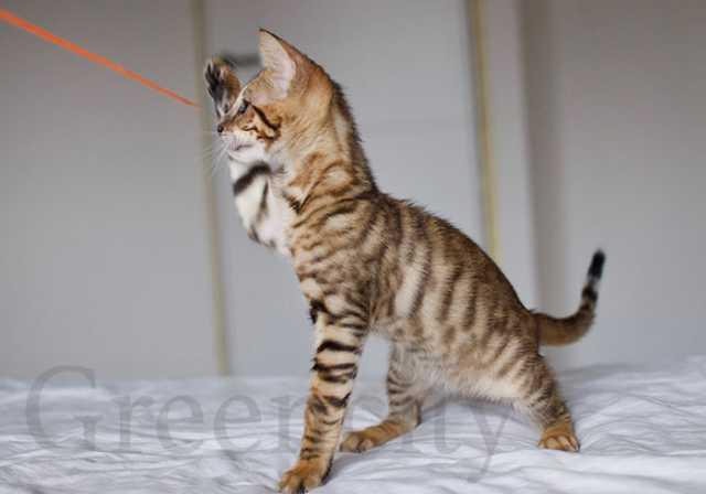 Продам Бенгалята и котята тойгера