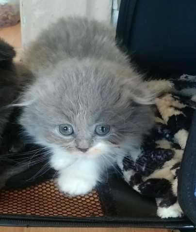 Продам: шотландскую вислоухую кошечку