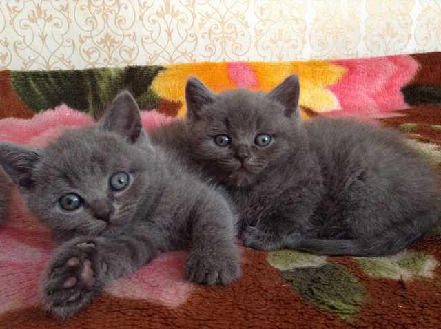 Продам: Британские котята