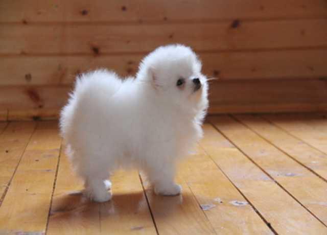 Продам Померанский шпиц - чисто белые щенки