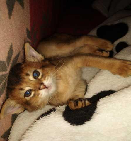 Продам: Сомалийский котёнок