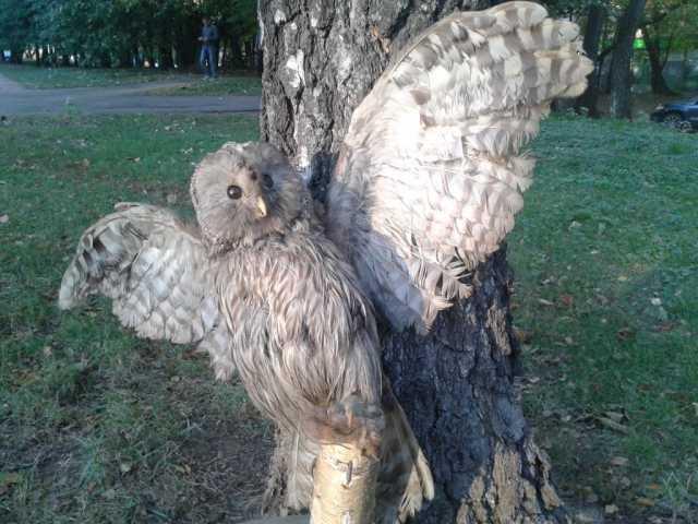 Продам: Чучело (птицы) совы большое настенное
