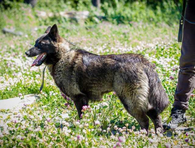 Отдам даром Роскошная, красивейшая молодая собака ищ
