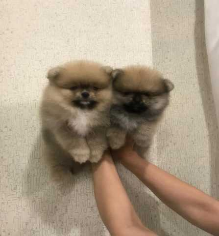 Продам щенки шпица