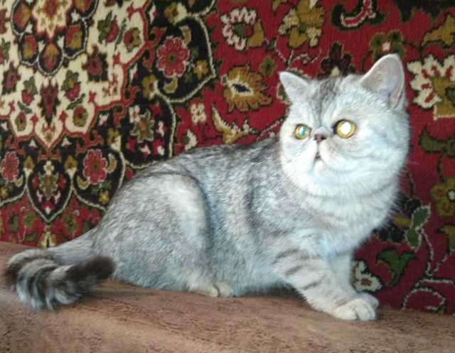 Продам Кот и кошечка экзотические серебристые