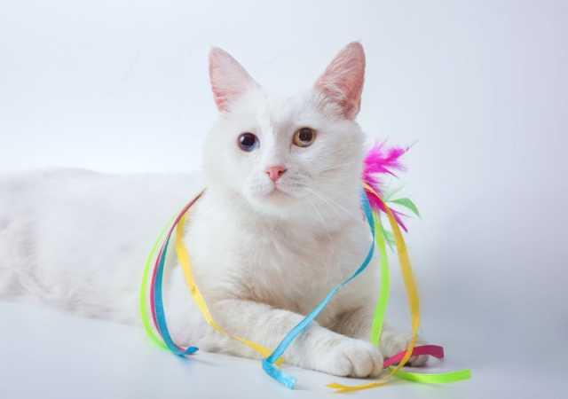 Отдам даром Белый разноглазый красавец кот Ларсен