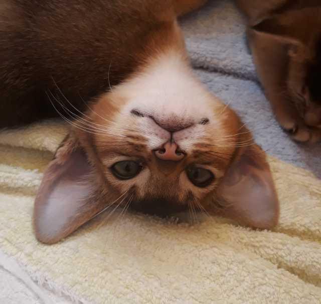 Продам Продам абиссинских котят