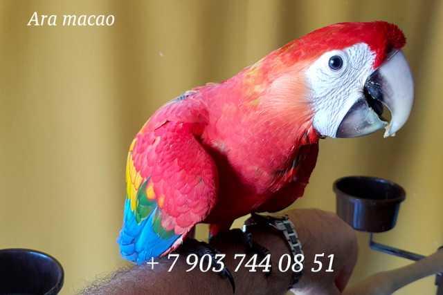 Продам Красный ара - ручные птенцы 4 мес. из пи