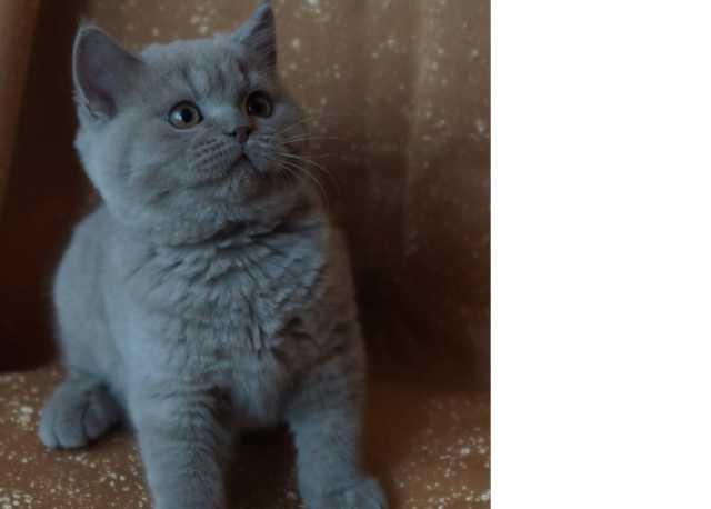 Продам Котята британской породы