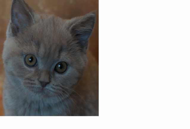 Продам Котята британской короткошерстной породы