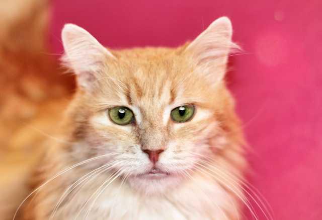 Отдам даром Шикарный кот Мускат ищет дом, в дар