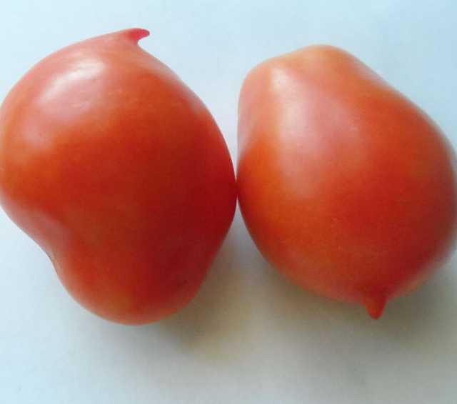 Продам Старинные томаты 1885г, скороспелка.рф