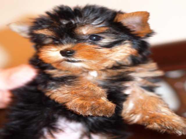Продам Йоркширский терьер щенки