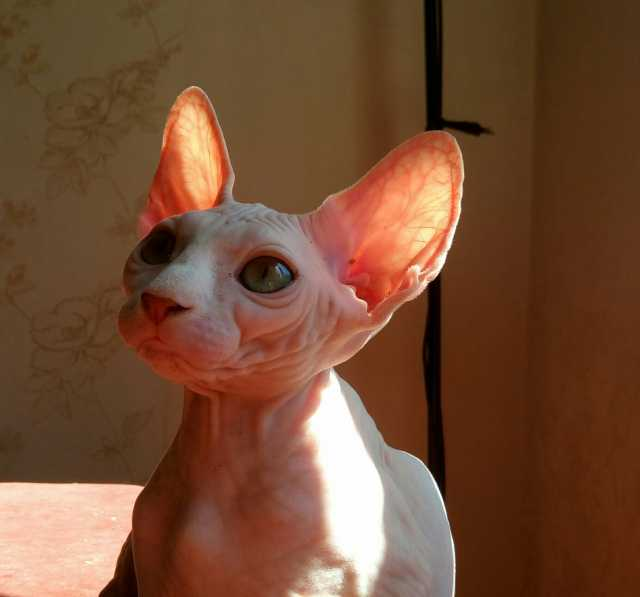 Продам котята канадский сфинкс