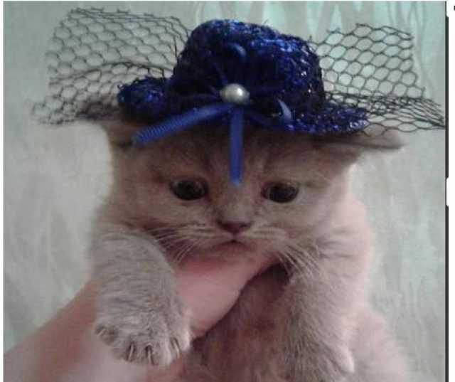Продам Продам шотландскую кошечку