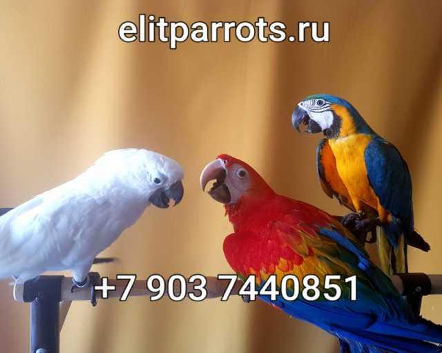 Продам Попугаи ручные птенцы из питомников Евро