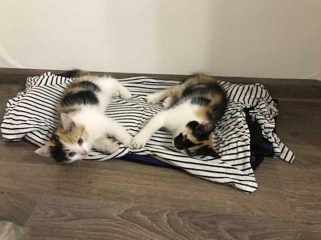 Отдам даром Маленькие, трехцветные котята