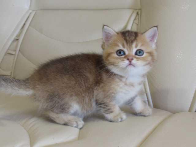 Продам Клубные котята (золотая шиншилла)