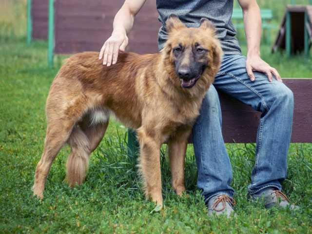 Отдам даром Рей, молодой домашний пес, метис овчарки