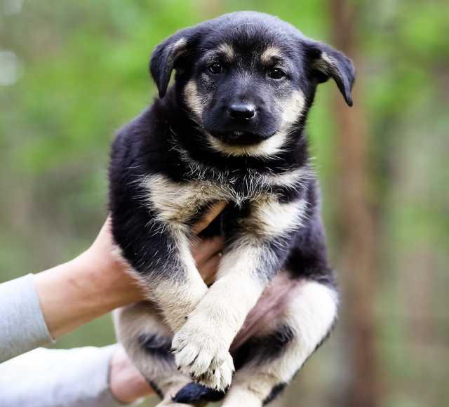 Отдам даром щенков в хорошие руки