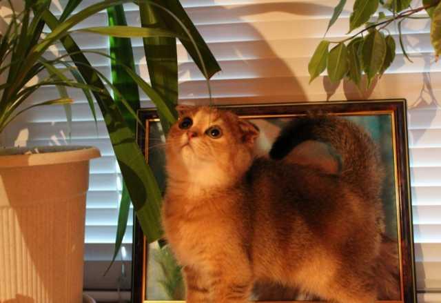 Продам Шотландские золотые котята
