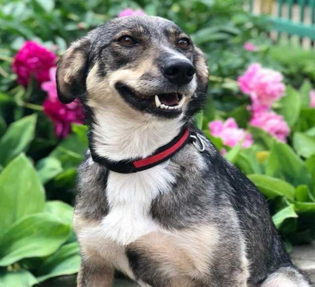 Отдам даром Уникальная собака Лана в добрые руки!