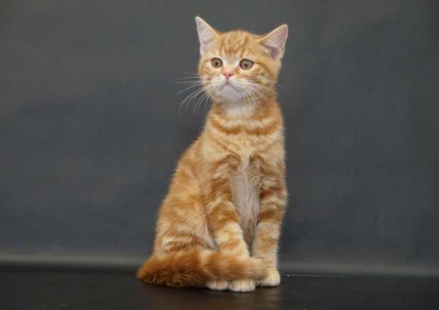 Продам Шотландские клубные котята