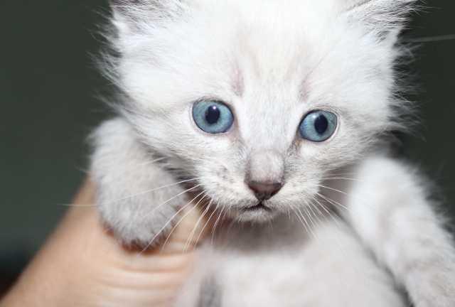 Отдам даром котёнок тайских кровей