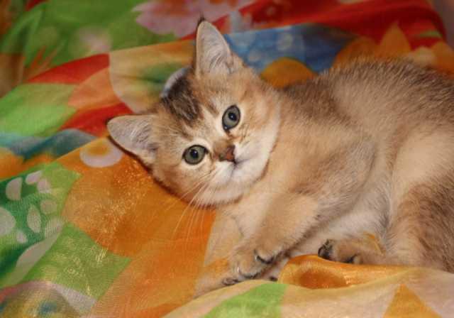 Продам Шотландский золотой котик