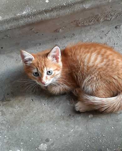 Отдам даром Отдам котенка (Курильский бобтейл) в доб