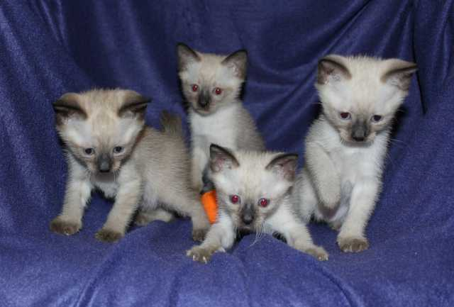 Продам котят Меконгского бобтейла