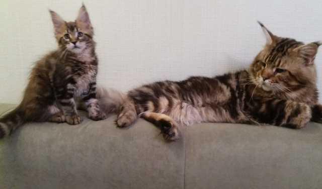 Продам: котята мэйн-куна