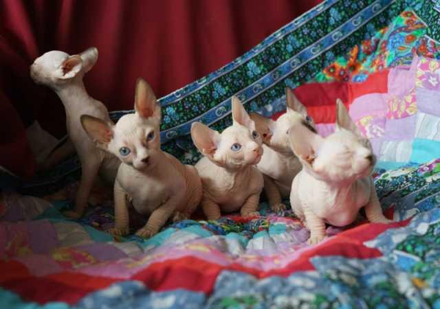 Продам элитные котята канадского сфинкса