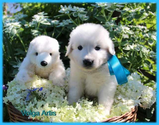 Продам Мареммо-абруцкая овчарка, щенки!