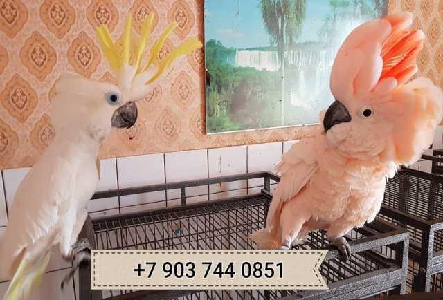 Продам Какаду - ручные птенцы