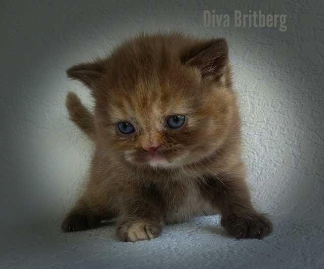 Продам Британский котёнок кошечка