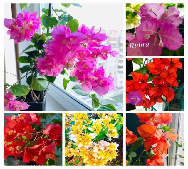 Продам: Красивоцветущие бугенвелии