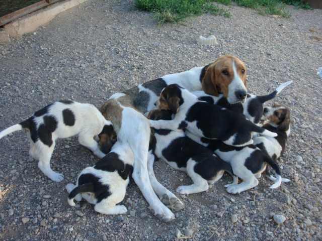 Продам: Продаются чистокровные щенки русской пег