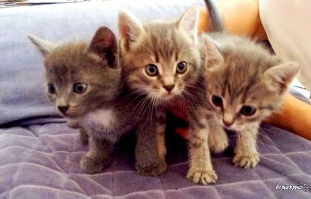 Отдам даром: Отдам котят в добрые руки