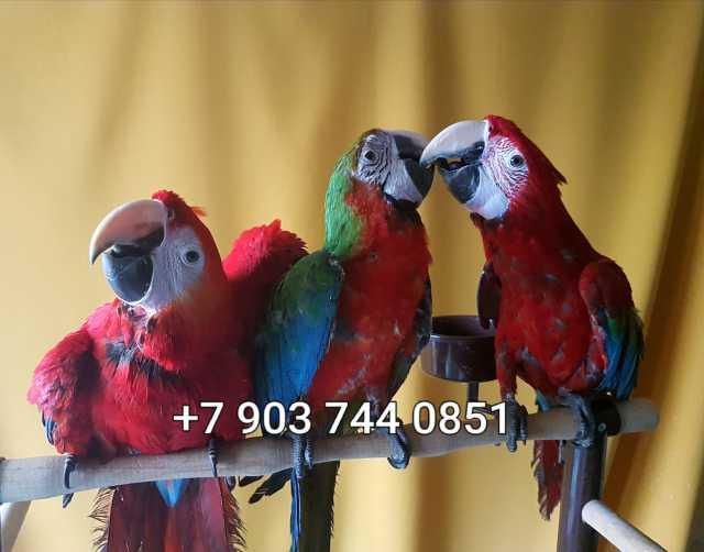 Продам Попугаи - ручные птенцы из питомников